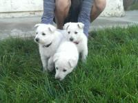 LOCATED IN TEMECULA CA. WINE COUNTRY!! POM POM PUPPY IS