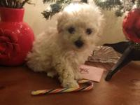 Super small Teacup poodle puppies just 2.5 mos old 1st