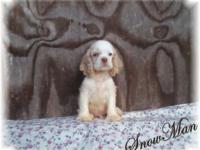 (Snow Man) CKC Cocker Spaniel male puppy. 8 weeks old -