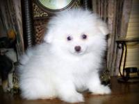 New Pictures 7/5. Snowball~ is a beautiful purebred