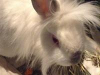 Snowball is a gorgeous Dwarf Lionhead Rabbit. She can