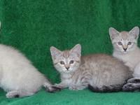 Snowbob kittens now available. One male that is 3/4