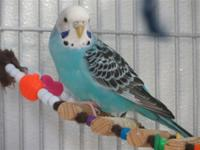 Parakeet, also known as Budgerigars(Melopsittacus