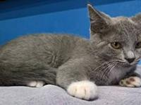 Snowcap's story Snowcap is a domestic shorthaired grey