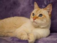 My story This Flame Point Siamese mix is exceptionally