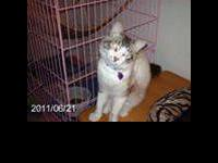 Snowshoe - Alanna - Large - Young - Female - Cat Alanna