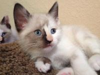 I have 4 BEAUTIFUL snowshoe kittycats available for