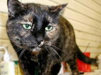 Snowshoe - Polly - Medium - Adult - Female - Cat Polly