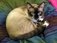 Snowshoe - Shelby - Small - Young - Female - Cat To