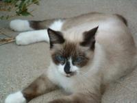 Snowshoe - Siam - Medium - Adult - Female - Cat Wait