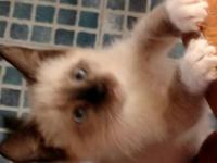 I have 2 adorable snowshoe Siamese kittens that are