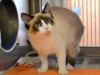Snowshoe - Tiara - Small - Young - Female - Cat
