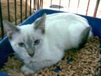 Snowshoe - Vanessa - Small - Young - Female - Cat Hi My
