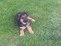 Beautiful 10 Week old male GSD, black and tan, shots