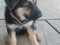 Beautiful 10 Week old female GSD, black and tan, shots