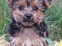 1 male 1 female Morkie children. So cute, spirited and
