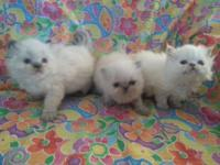 Adorable Persian Color Point (Himalayan) kittens