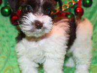 MINI SCHNAUZER MALE Dark Chocolate Parti. This little