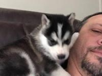 Alaskan Malamute puppy, from parents of excellent