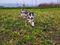 Home raised male and female Siberian Husky puppies they