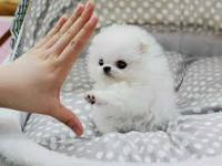 Both White and Black Pomeranian puppies for Adoption.