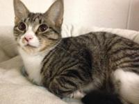 Socks is a beautiful dark tabby male kitten with white