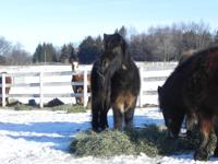 SodaPop is a dark bay miniature horse gelding that came