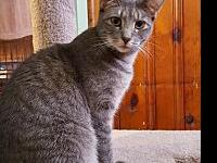 Sofia's story Sweet Sofia is a 1 year old DSH that came