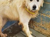 My story great pyrenees - lacks socialization would