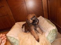 SOFT COAT WHEATEN TERRIER (SCWT) PUPPY PUPPIES ARE 4