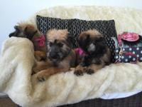 Dagda - Soft Coated Wheaten Terrier Puppy is ready to