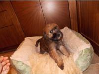 Soft Coated Wheaten Terrier Puppy is ready to Go home