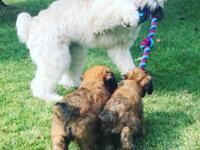 Our Wheaten puppies are home raised with our family. We