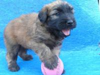 Our new litter of Soft Coated Wheaten Terrier. puppies