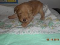 "AKC registered male ""Blonde"" Wheaten puppy, ready to go"