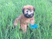 Charlotte is a beautiful Soft Coated Wheaten Terrier