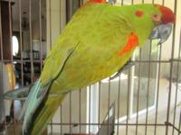 Perfect feathered 4 year old red fronted macaw. Not