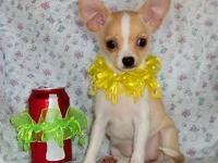 """Peachie"" is a fawn and white smooth coat female that"