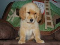 *ALL PUPS SOLD* Gorgeous , Huge , Block Head Golden