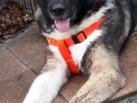 7 1/2 month male black and silver akita pup, currently