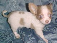I am a cute white/spotted lil male Chihuahua...I am