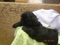 ? 2 yorkie puppies MALE ? THESE BOYS ARE SOLD! We have