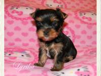 Sweet little Yorkie girl looking for loving pet home.