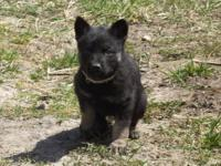 SOLD...MK0205 Female... This girl is Black, Tan,