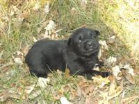 THIS GIRL IS SOLD! PLEASE CHECK OUT OUR OTHER PUPPIES