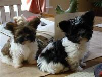 Sold... However have 4 New puppies showed up Dec 05,
