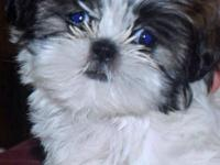 Sweet little Zoe is an Imperial Shih Tzu! Her estimated