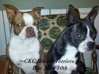 CKC Registered Male Boston Terrier newborn puppy left.