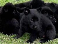 Akc solid black german shepherd puppies, 9 weeks old, 3