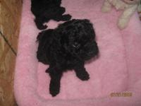 This beautiful solid black toy poodle will be ready for